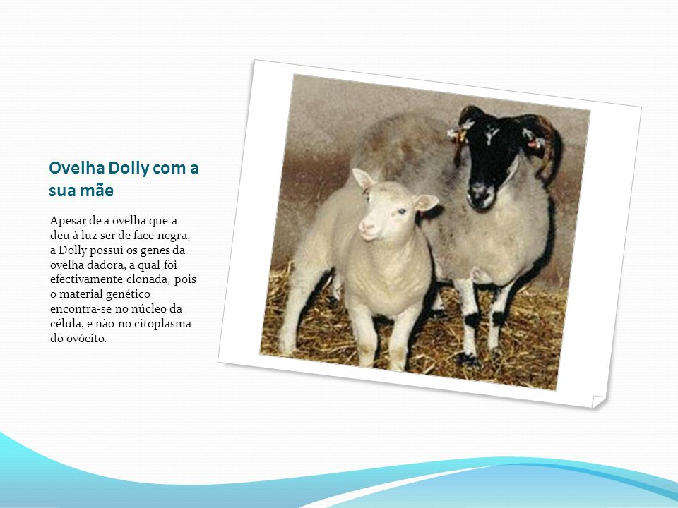 Ovelha Dolly com a sua mãe