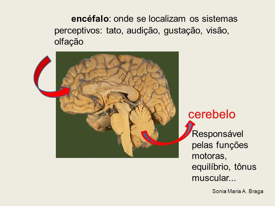 encéfalo: onde se localizam os sistemas perceptivos: tato, audição, gustação, visão, olfação