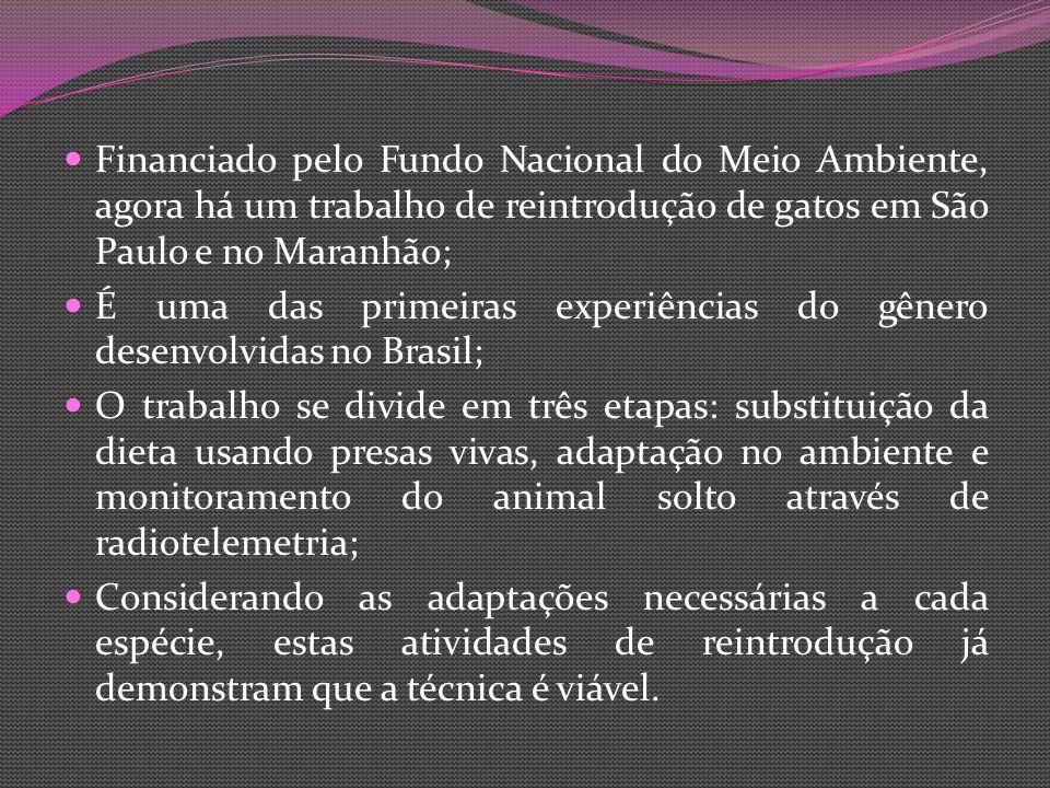 Financiado pelo Fundo Nacional do Meio Ambiente, agora há um trabalho de reintrodução de gatos em São Paulo e no Maranhão;