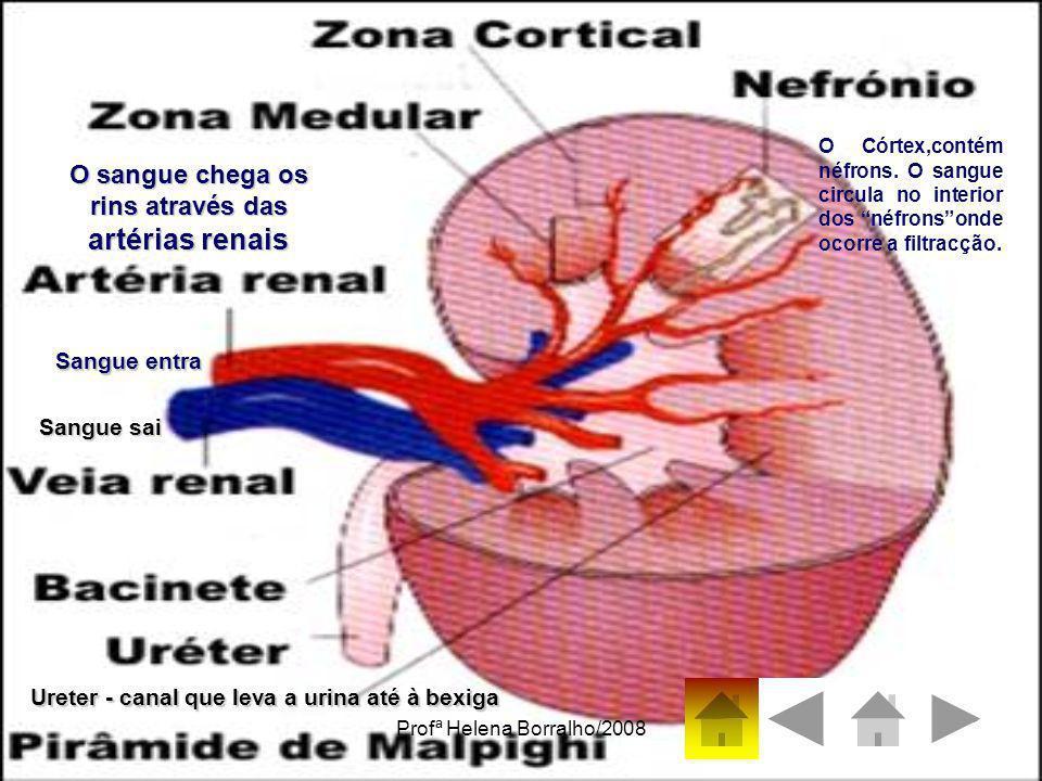 O sangue chega os rins através das artérias renais