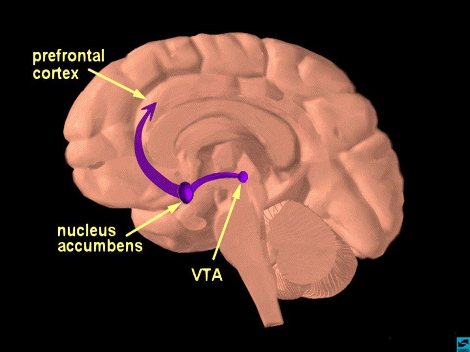 Mais tem detalhe, chamamos este circuito, este caminho como o sistema de recompensa, mais uma vez, a parte do cerebro que me dá a sensação subjetiva de que algo foi bom e dois, que devo me organizar para fazer o que tiver ao alcance para repetir tal experiencia. Há mais no que sabemos hoje, uma quimica cerebral, o neurotransmissor responsavel por esta informação se chama dopamina.