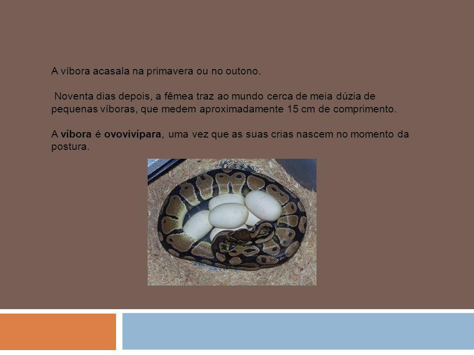 A víbora acasala na primavera ou no outono.