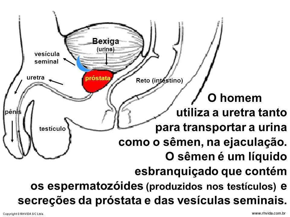 para transportar a urina como o sêmen, na ejaculação.