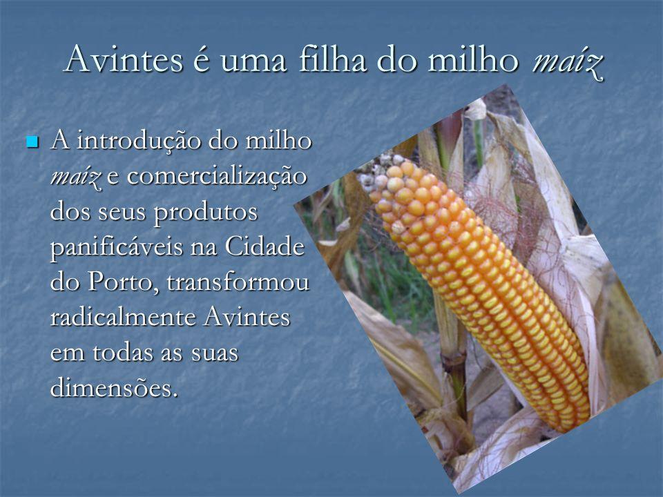 Avintes é uma filha do milho maíz