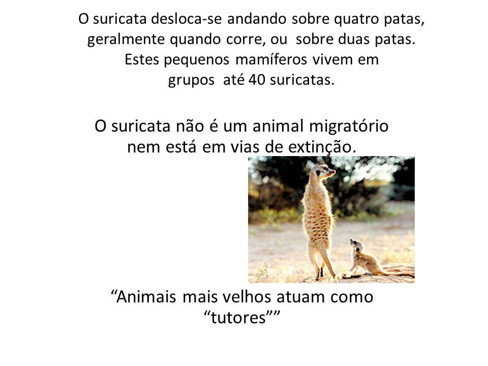 O suricata não é um animal migratório nem está em vias de extinção.