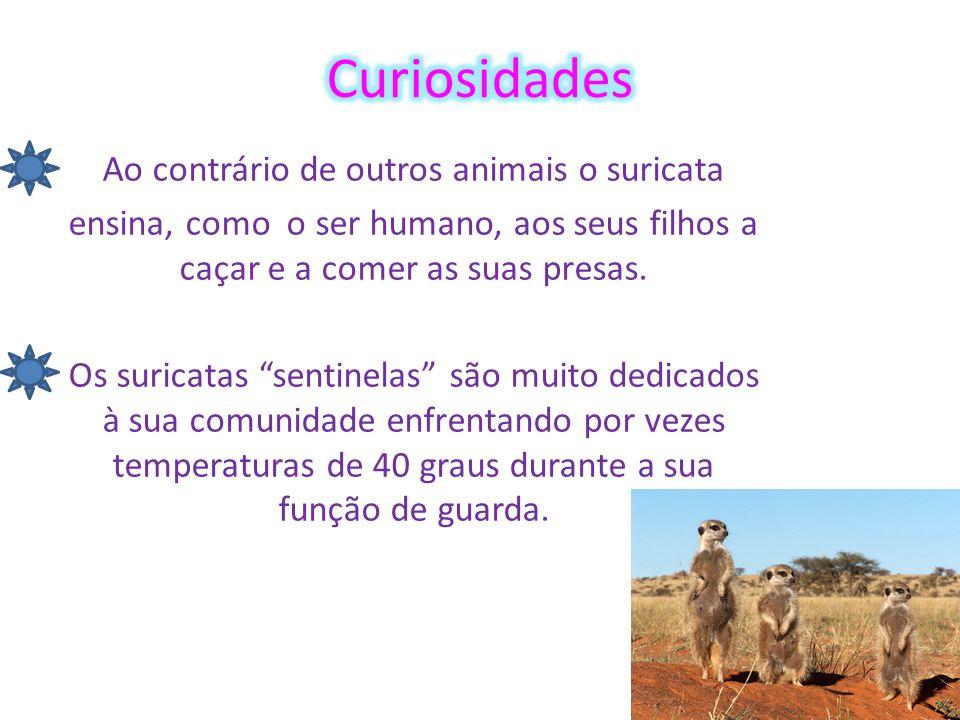 Ao contrário de outros animais o suricata