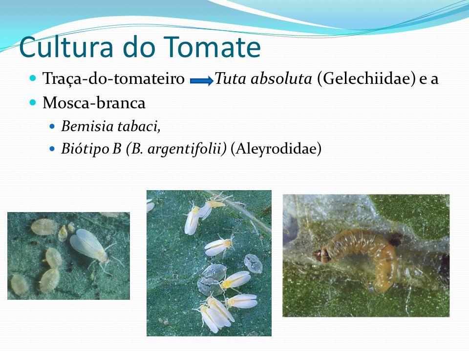 Cultura do Tomate Traça-do-tomateiro Tuta absoluta (Gelechiidae) e a