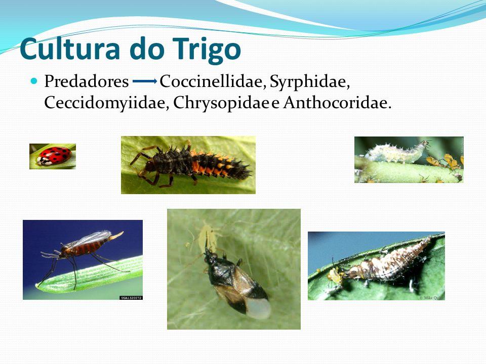 Cultura do Trigo Predadores Coccinellidae, Syrphidae, Ceccidomyiidae, Chrysopidae e Anthocoridae.