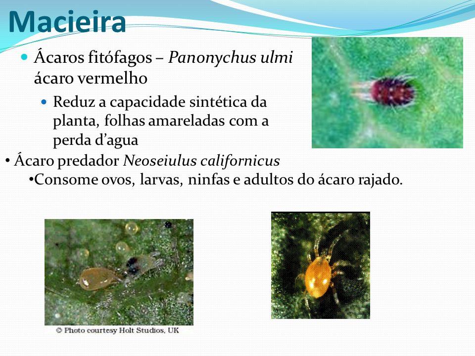 Macieira Ácaros fitófagos – Panonychus ulmi ácaro vermelho