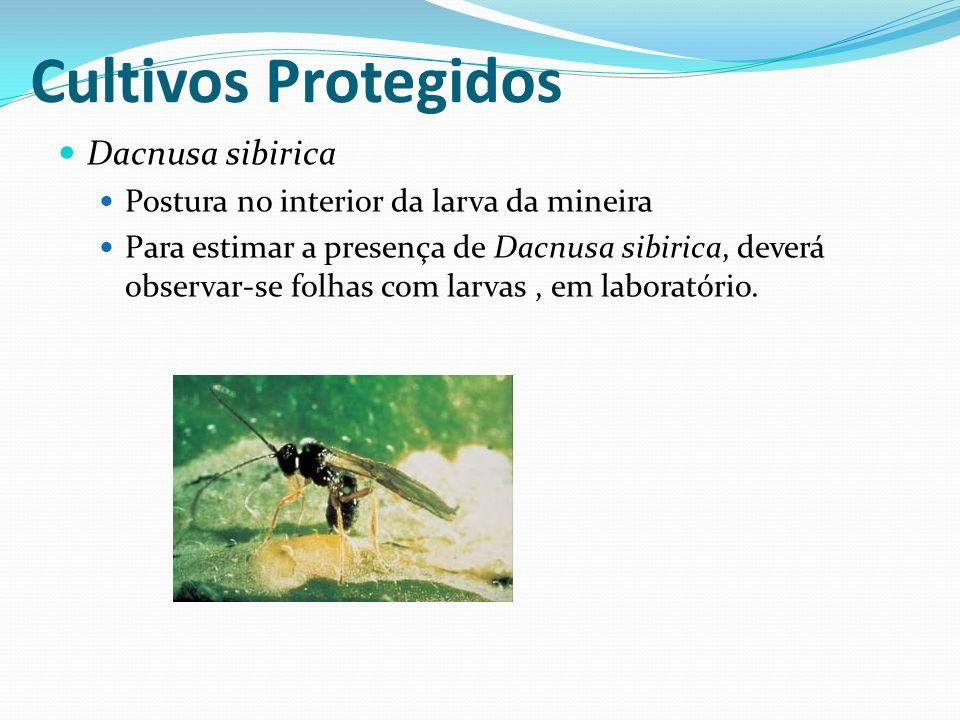 Cultivos Protegidos Dacnusa sibirica