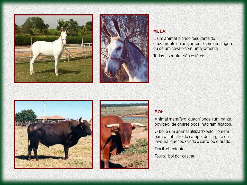 MULA: É um animal híbrido resultante do cruzamento de um jumento com uma égua ou de um cavalo com uma jumenta.