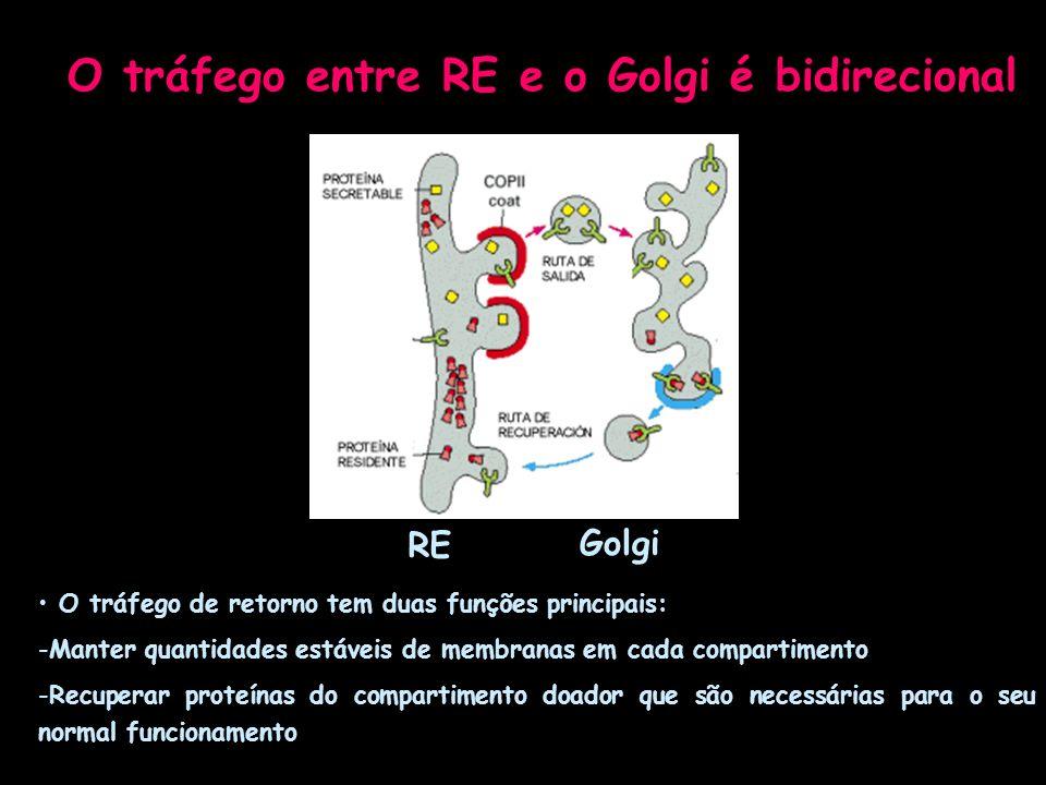 O tráfego entre RE e o Golgi é bidirecional