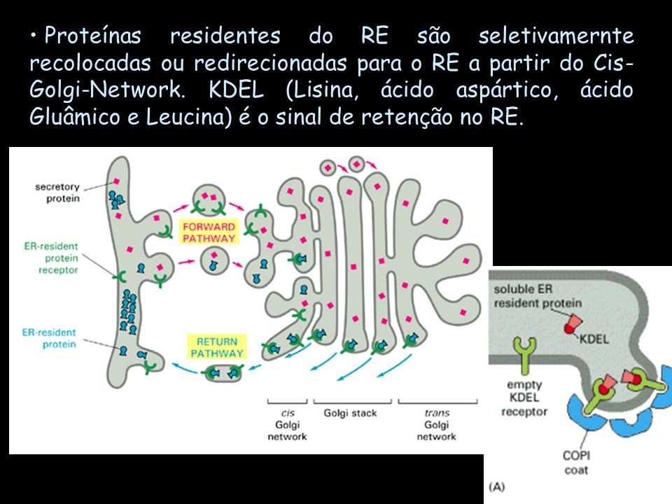 Proteínas residentes do RE são seletivamernte recolocadas ou redirecionadas para o RE a partir do Cis-Golgi-Network.