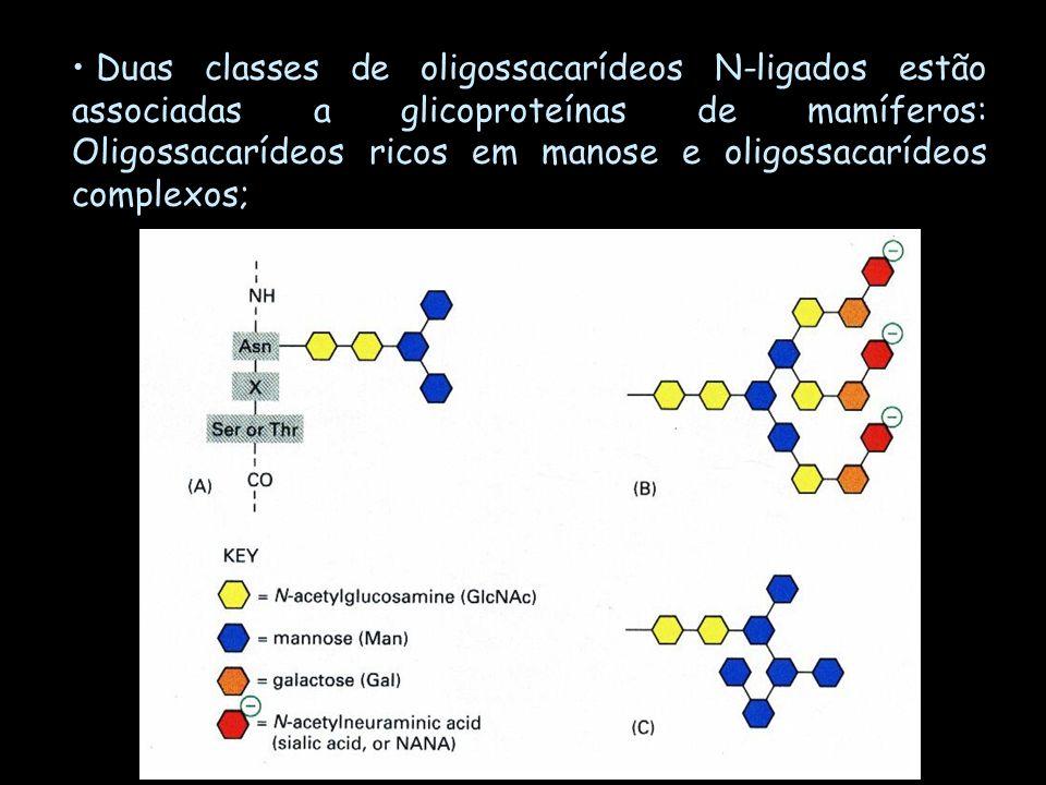 Duas classes de oligossacarídeos N-ligados estão associadas a glicoproteínas de mamíferos: Oligossacarídeos ricos em manose e oligossacarídeos complexos;