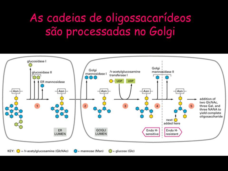 As cadeias de oligossacarídeos são processadas no Golgi