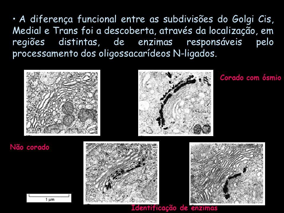A diferença funcional entre as subdivisões do Golgi Cis, Medial e Trans foi a descoberta, através da localização, em regiões distintas, de enzimas responsáveis pelo processamento dos oligossacarídeos N-ligados.