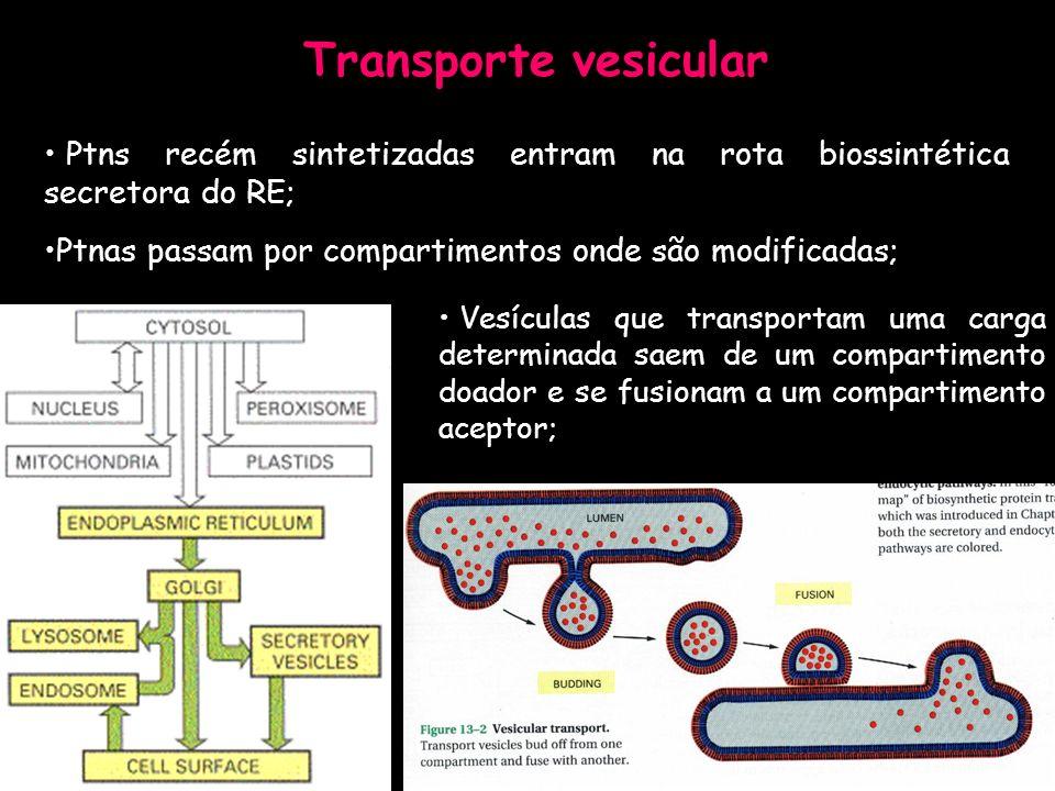 Transporte vesicular Ptns recém sintetizadas entram na rota biossintética secretora do RE; Ptnas passam por compartimentos onde são modificadas;