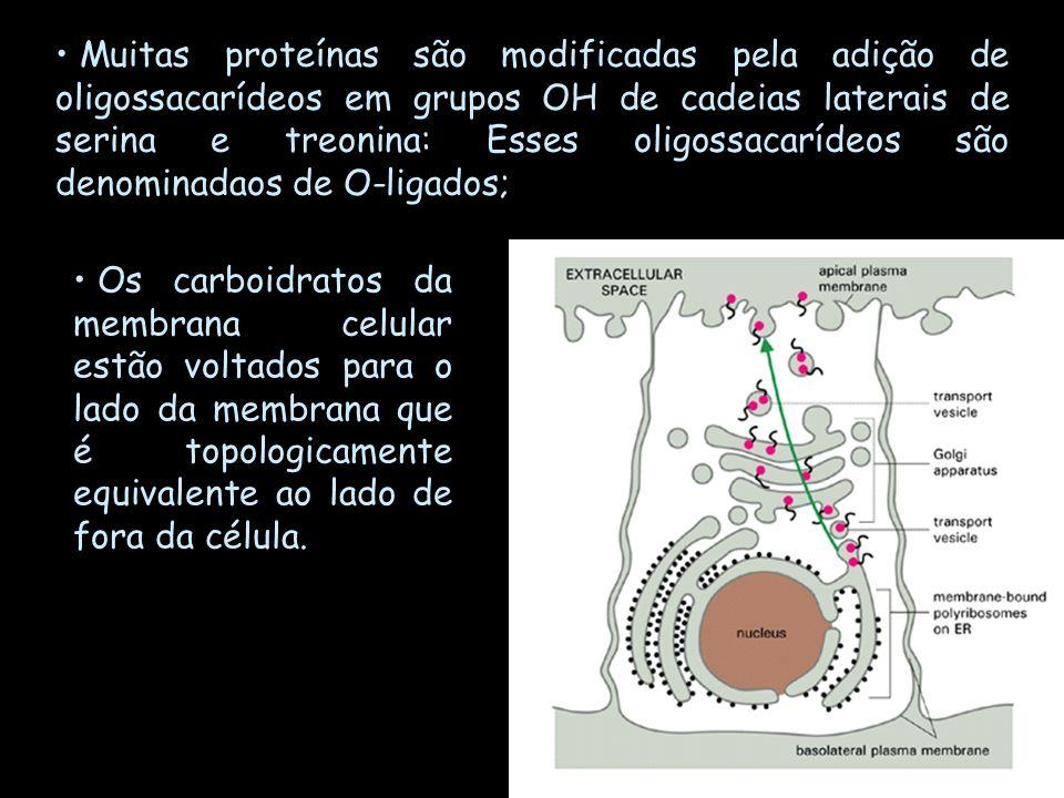 Muitas proteínas são modificadas pela adição de oligossacarídeos em grupos OH de cadeias laterais de serina e treonina: Esses oligossacarídeos são denominadaos de O-ligados;