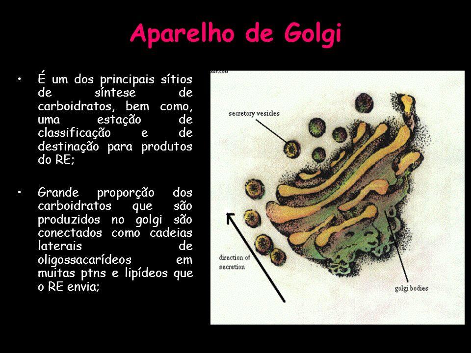 Aparelho de Golgi É um dos principais sítios de síntese de carboidratos, bem como, uma estação de classificação e de destinação para produtos do RE;