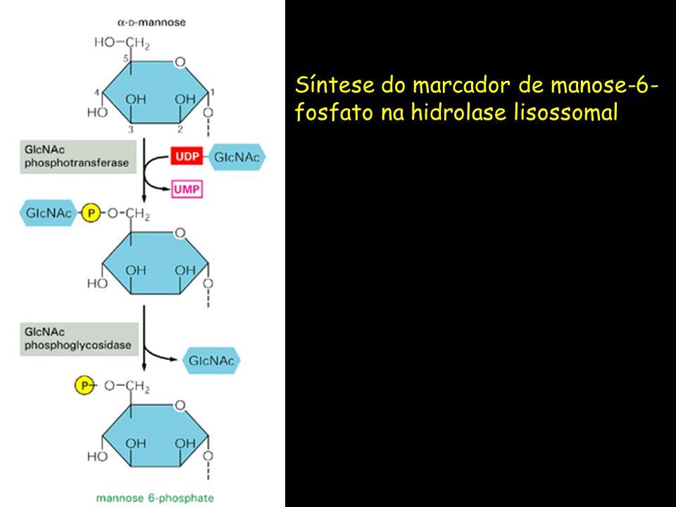 Síntese do marcador de manose-6-fosfato na hidrolase lisossomal