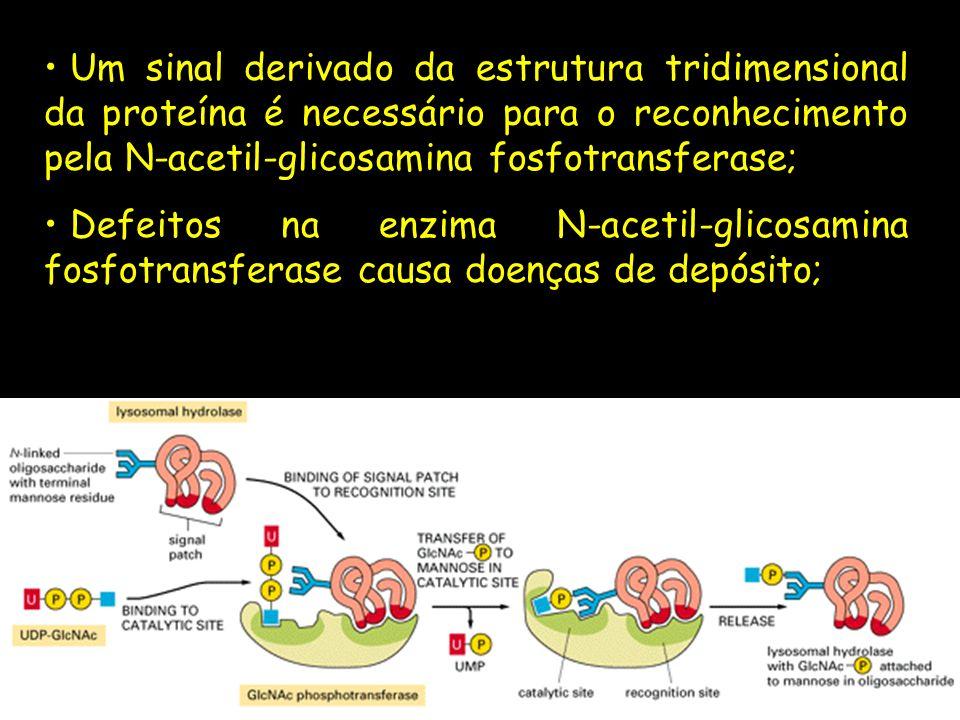 Um sinal derivado da estrutura tridimensional da proteína é necessário para o reconhecimento pela N-acetil-glicosamina fosfotransferase;