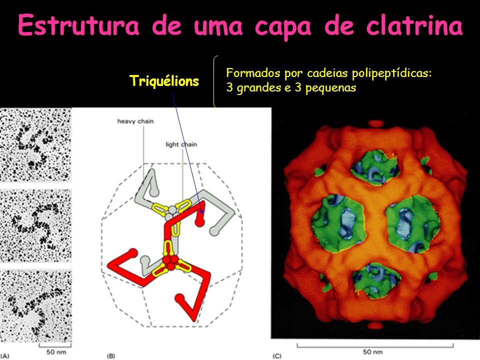 Estrutura de uma capa de clatrina