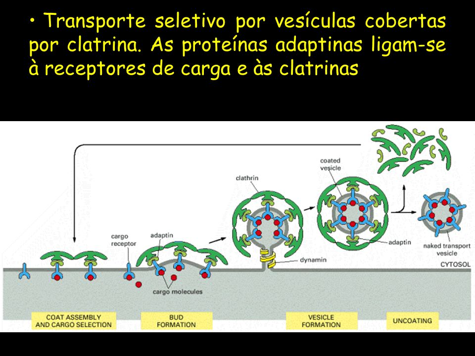 Transporte seletivo por vesículas cobertas por clatrina