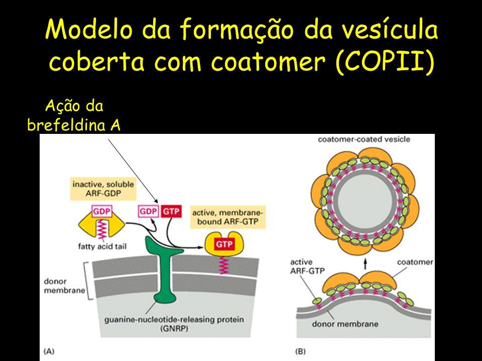 Modelo da formação da vesícula coberta com coatomer (COPII)