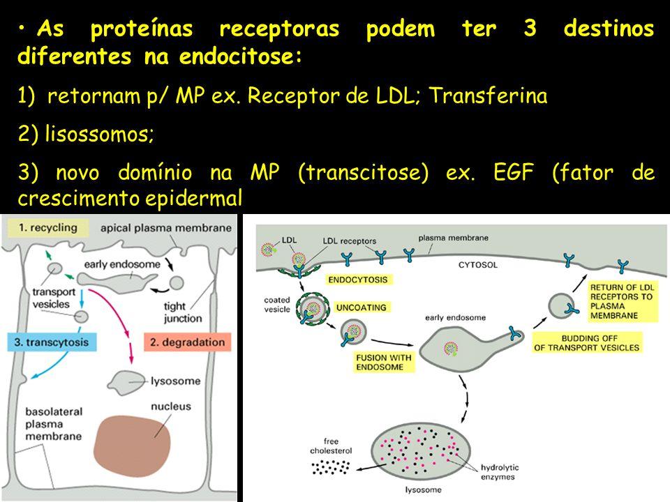 As proteínas receptoras podem ter 3 destinos diferentes na endocitose: