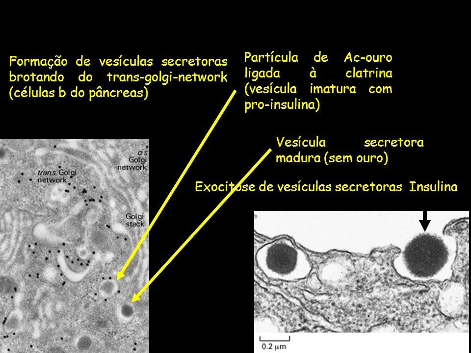Partícula de Ac-ouro ligada à clatrina (vesícula imatura com pro-insulina)
