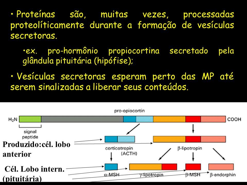 Proteínas são, muitas vezes, processadas proteolíticamente durante a formação de vesículas secretoras.