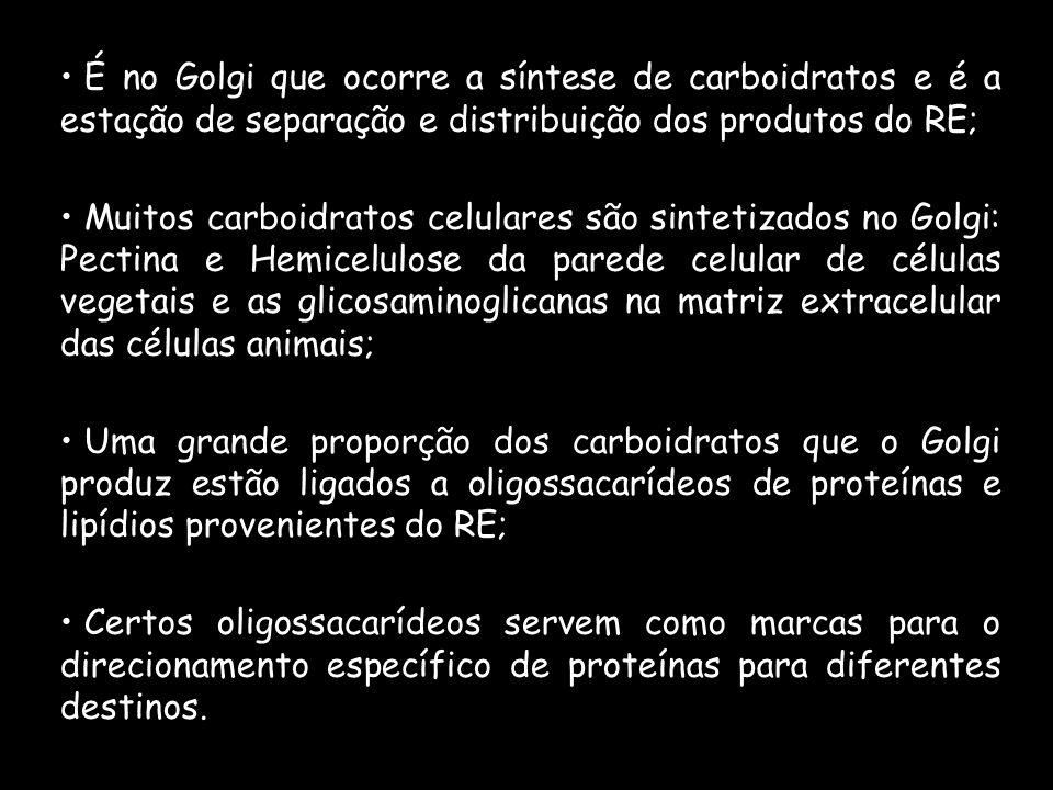 É no Golgi que ocorre a síntese de carboidratos e é a estação de separação e distribuição dos produtos do RE;