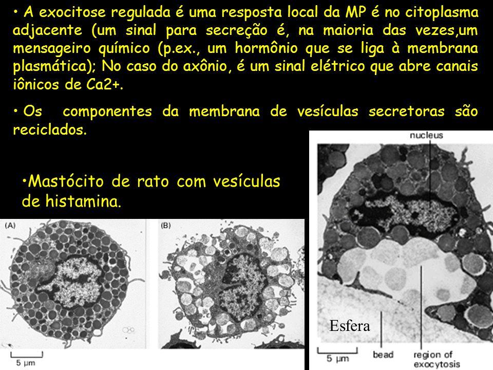 Mastócito de rato com vesículas de histamina.