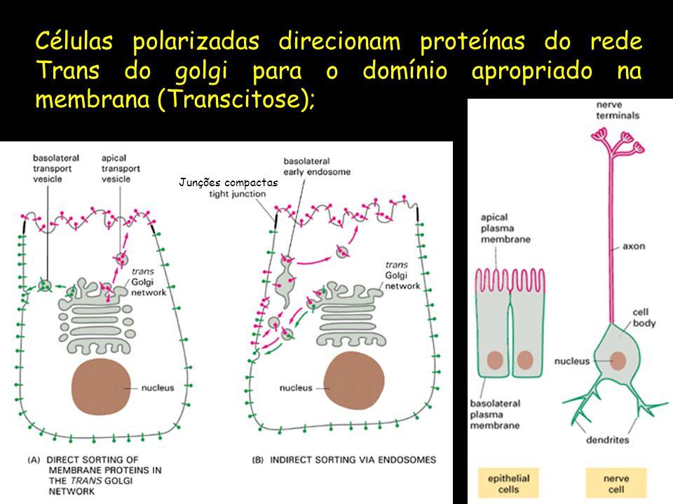 Células polarizadas direcionam proteínas do rede Trans do golgi para o domínio apropriado na membrana (Transcitose);