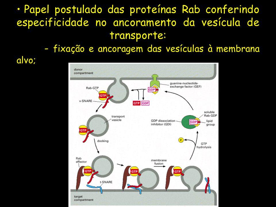 Papel postulado das proteínas Rab conferindo especificidade no ancoramento da vesícula de transporte: - fixação e ancoragem das vesículas à membrana alvo;