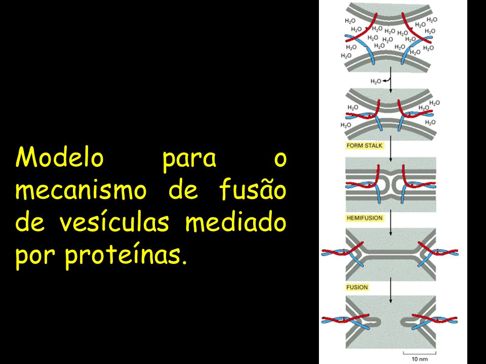 Modelo para o mecanismo de fusão de vesículas mediado por proteínas.