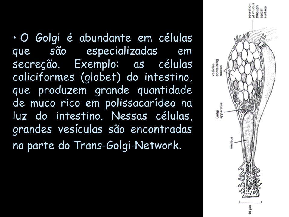 O Golgi é abundante em células que são especializadas em secreção