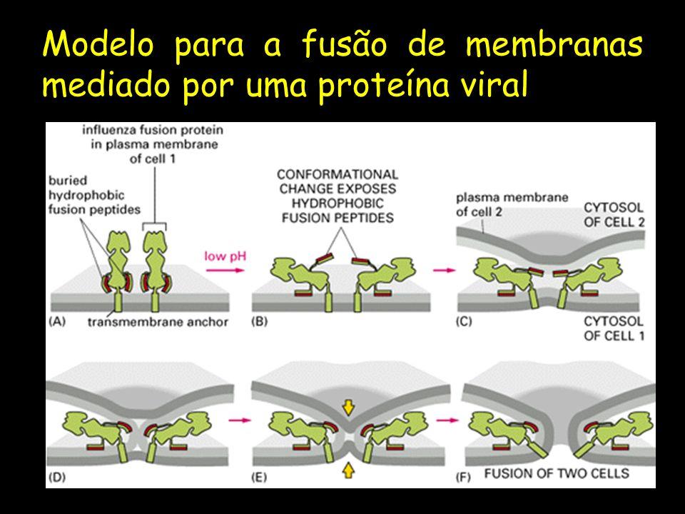Modelo para a fusão de membranas mediado por uma proteína viral