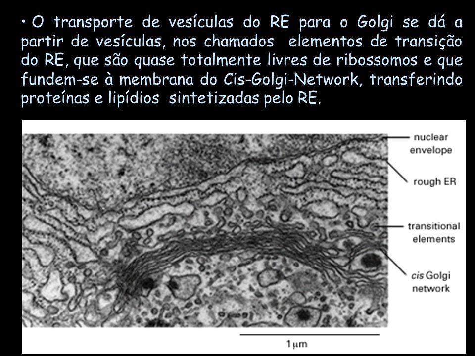 O transporte de vesículas do RE para o Golgi se dá a partir de vesículas, nos chamados elementos de transição do RE, que são quase totalmente livres de ribossomos e que fundem-se à membrana do Cis-Golgi-Network, transferindo proteínas e lipídios sintetizadas pelo RE.