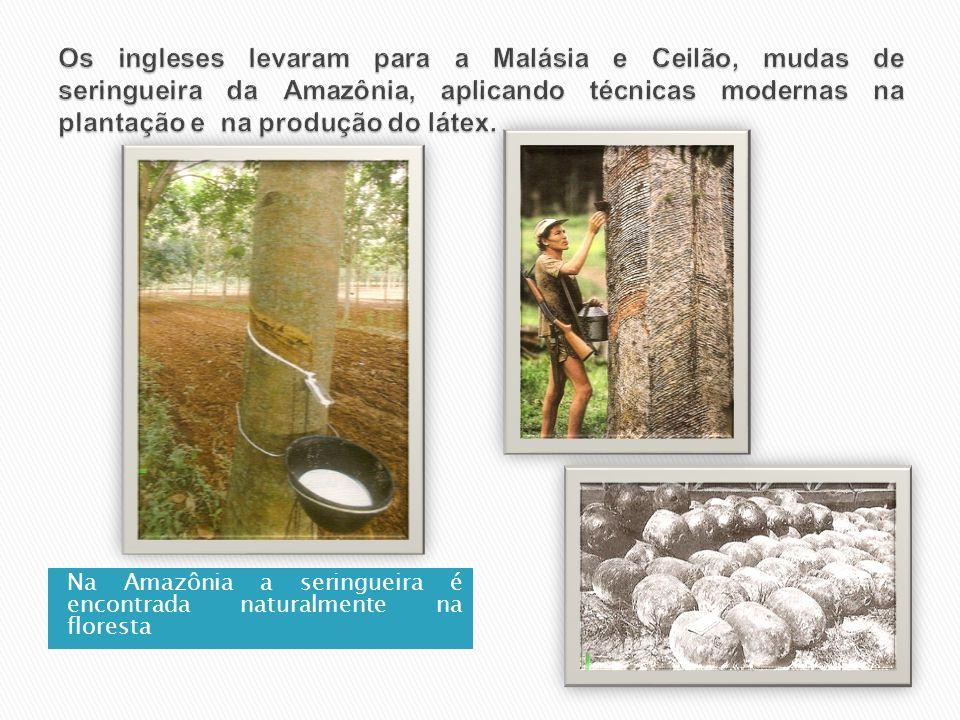 Os ingleses levaram para a Malásia e Ceilão, mudas de seringueira da Amazônia, aplicando técnicas modernas na plantação e na produção do látex.