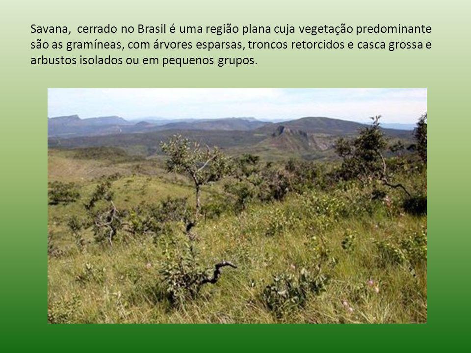 Savana, cerrado no Brasil é uma região plana cuja vegetação predominante são as gramíneas, com árvores esparsas, troncos retorcidos e casca grossa e arbustos isolados ou em pequenos grupos.