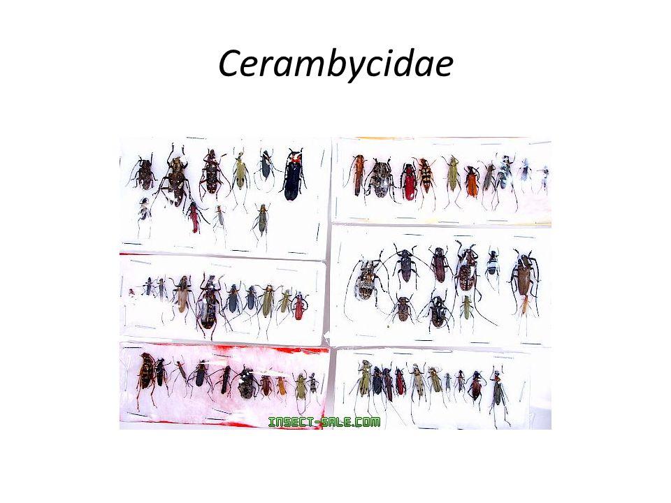 Cerambycidae