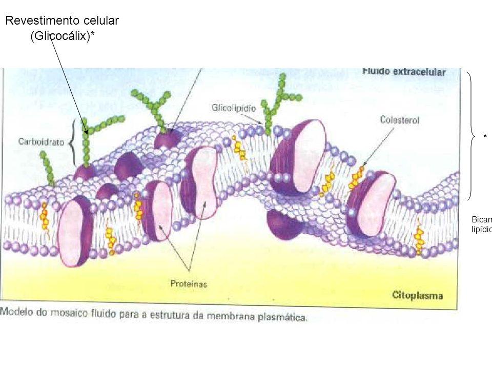 Revestimento celular (Glicocálix)* * Bicamada lipídica