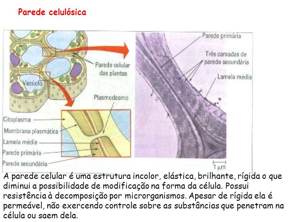 Parede celulósica