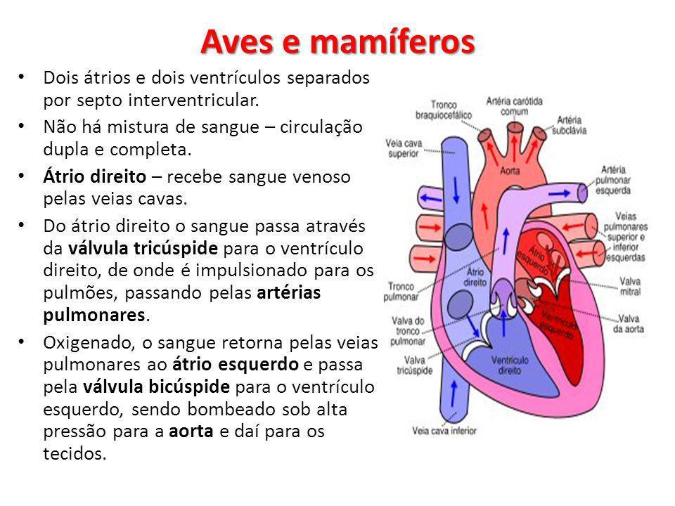 Aves e mamíferos Dois átrios e dois ventrículos separados por septo interventricular. Não há mistura de sangue – circulação dupla e completa.