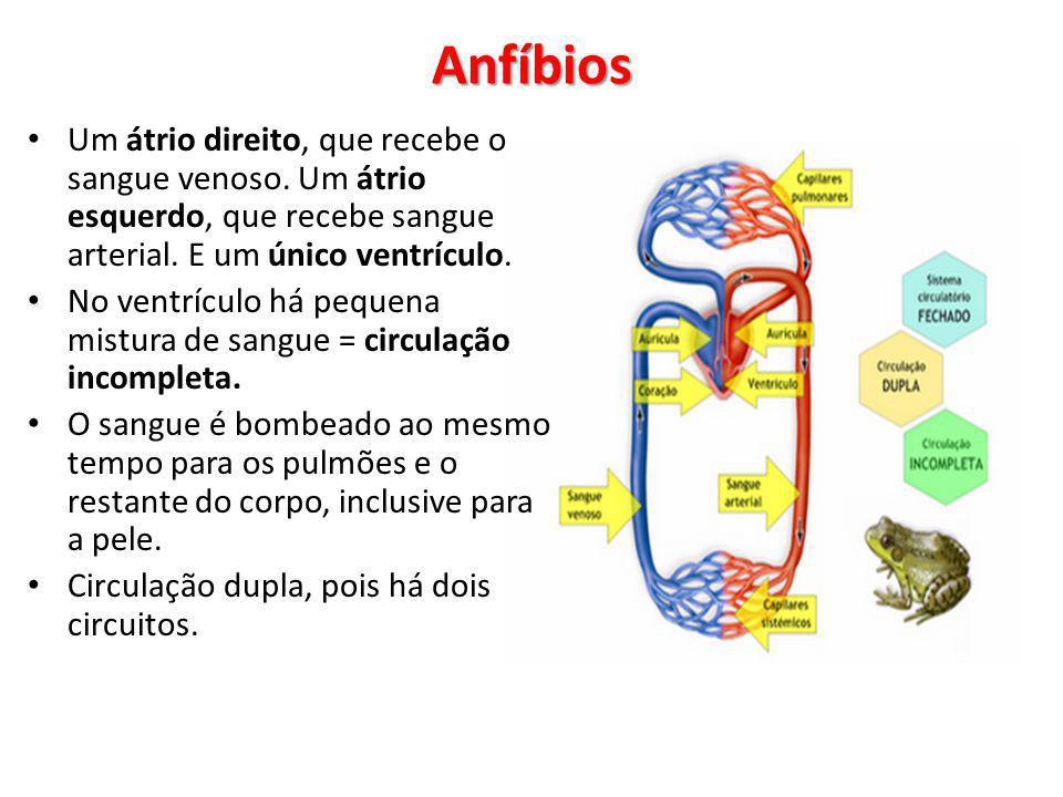 Anfíbios Um átrio direito, que recebe o sangue venoso. Um átrio esquerdo, que recebe sangue arterial. E um único ventrículo.