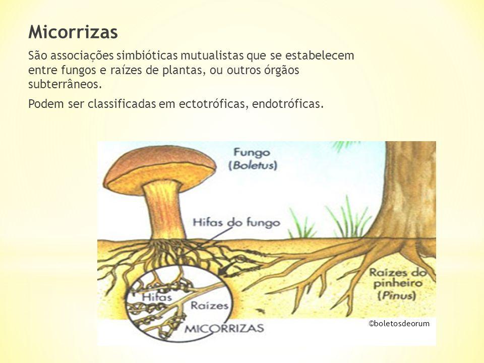 Micorrizas São associações simbióticas mutualistas que se estabelecem entre fungos e raízes de plantas, ou outros órgãos subterrâneos.