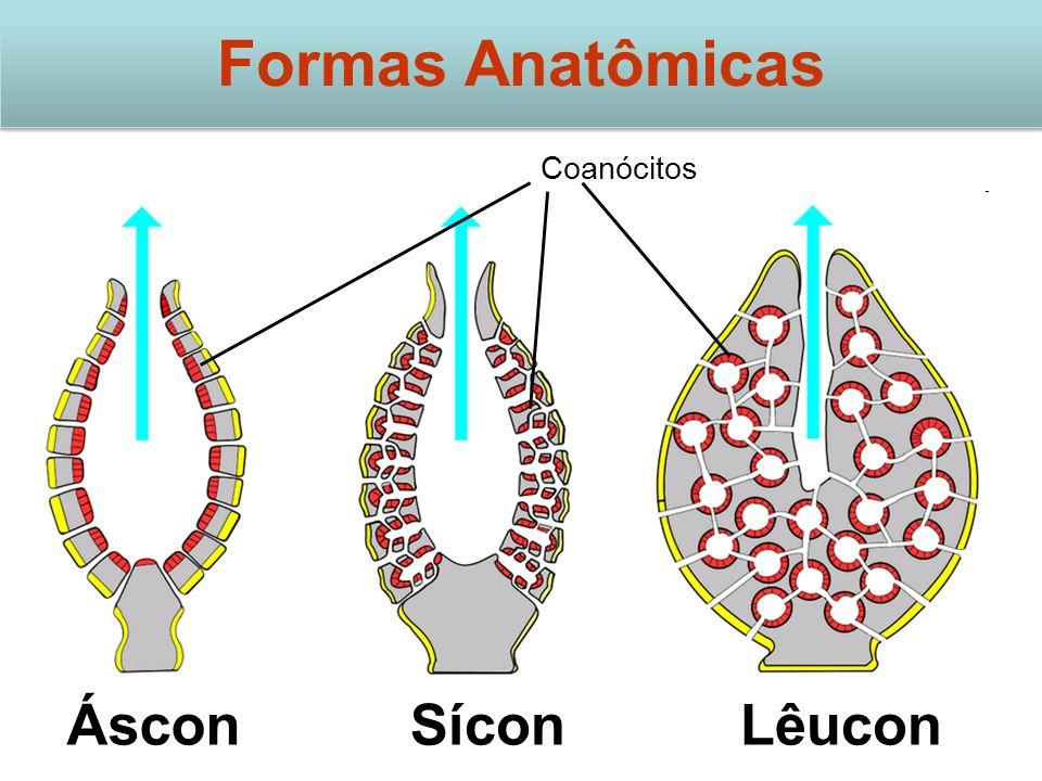 Formas Anatômicas Coanócitos Áscon Sícon Lêucon