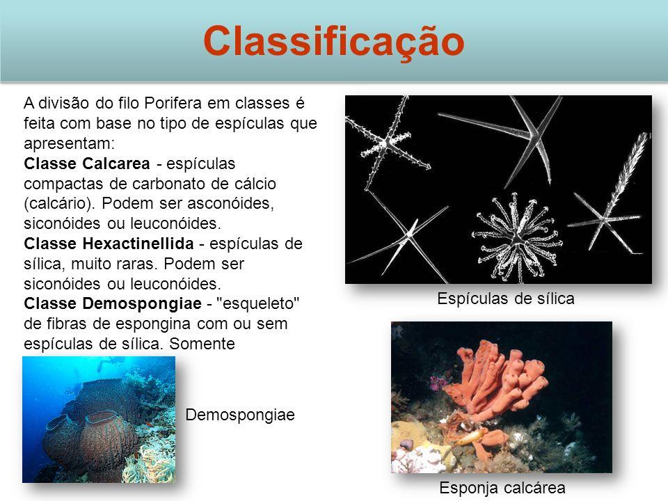 Classificação A divisão do filo Porifera em classes é feita com base no tipo de espículas que apresentam: