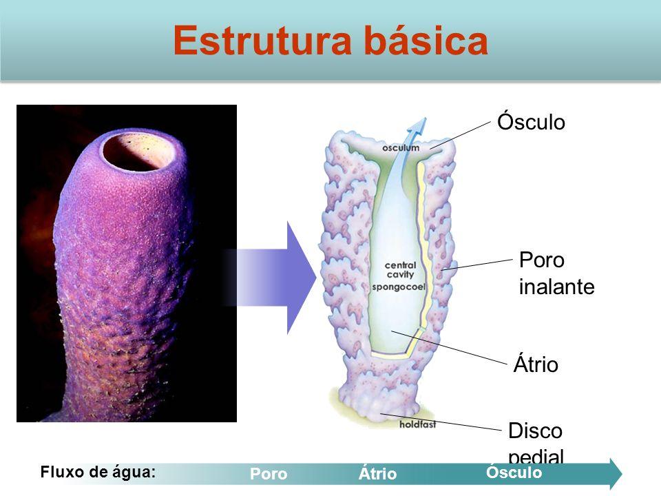 Estrutura básica Ósculo Poro inalante Átrio Disco pedial